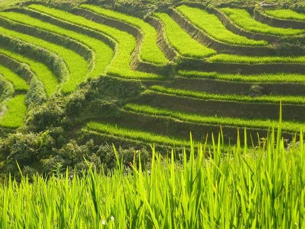 Rizieres en terreaces Hoang Su Phi