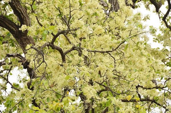 fleur de bauhinie