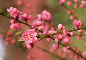 fleurs-des-pecher